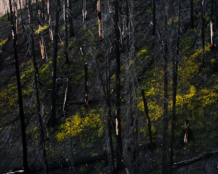Laura McPhee, 'Arrowleaf Balsamroot, Near Warm Springs Summit, Blaine County, Idaho, 2015 1/5'