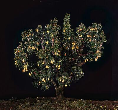 Tal Shochat, 'Pear Tree', 2011