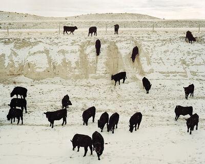 Benjamin Rasmussen, 'Steers Coming to Feed, Chugwater, Wyoming'