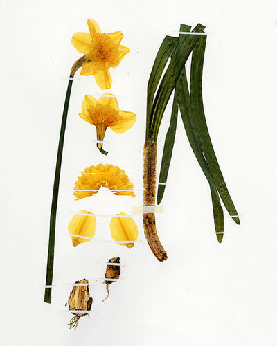 Nicolai Howalt, 'Narcissus Incomparábilis Hybrid', 2019