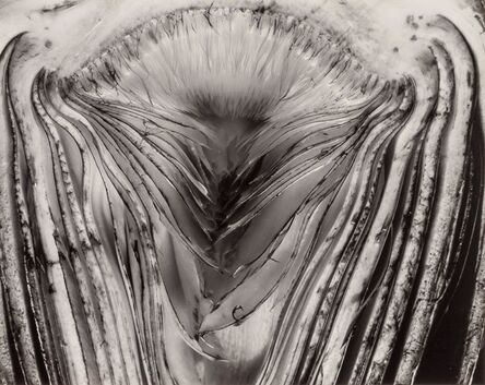 Edward Weston, 'Artichoke Halved, [negative] 28V', 1930