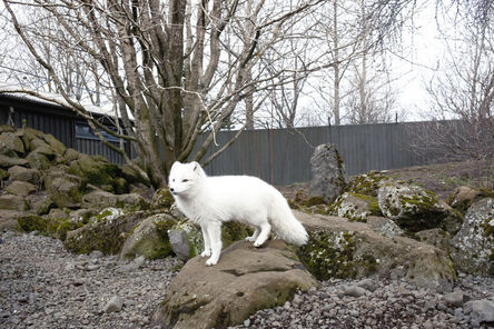 Maroesjka Lavigne, 'Arctic Fox, ReykjaviÍk', 2011