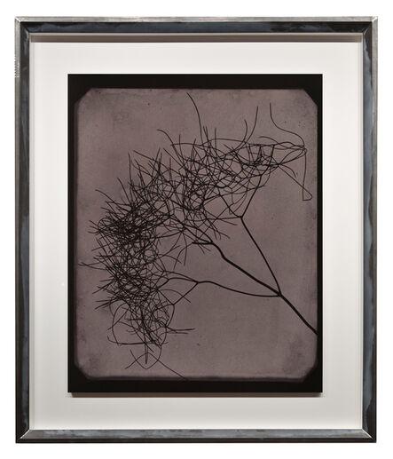 Hiroshi Sugimoto, 'Wild Fennel, circa 1841-1842', 2009