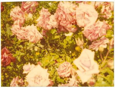 Stefanie Schneider, 'Rosegarden II (Suburbia)', 2004