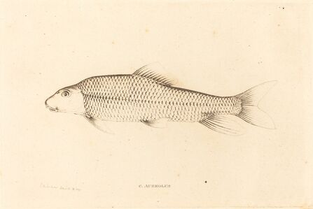Charles Alexandre Lesueur, 'C. Aureolus', 1817