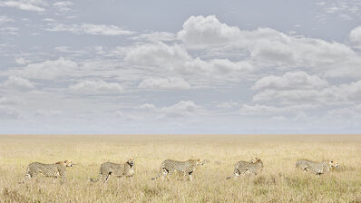 David Burdeny, 'Cheetah Coalition, Maasai Mara, Kenya', 2018