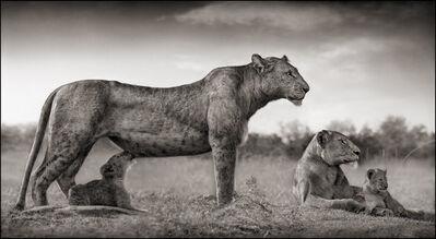 Nick Brandt, 'Lioness With Cub Feeding, Masai Mara', 2007