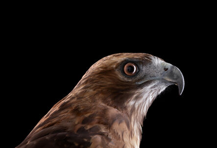 Brad Wilson, 'Red Tailed Hawk #1, Espanola, NM', 2011