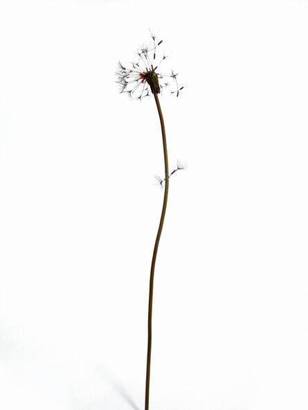 Shota Suzuki, 'Floss of dandelion', 2017