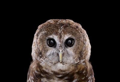 Brad Wilson, 'Mexican Spotted Owl #1, Espanola, NM ', 2011
