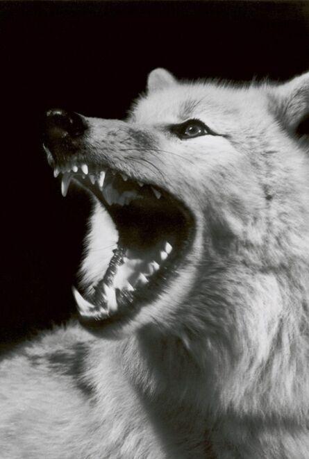 Walter Schels, 'Wolf', 2000