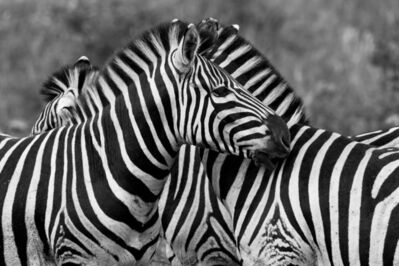 Araquém Alcântara, 'Zebras | Tanzania | Africa', 2012