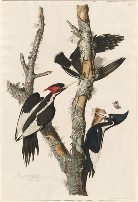 Robert Havell after John James Audubon, 'Ivory-billed Woodpecker', 1829