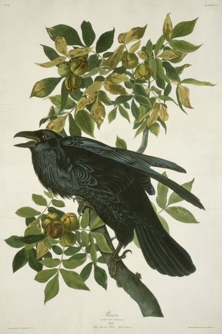 Robert Havell after John James Audubon, 'Raven', 1831