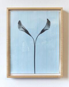Kunié Sugiura, 'Split Calla Lily', 2000