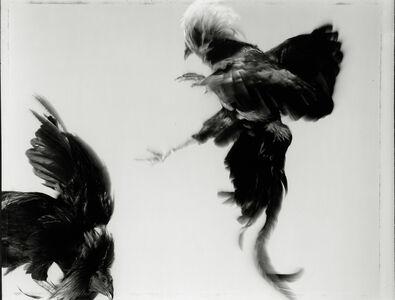 Hiro, 'Game Fowl (274-41), Maryland', 1988