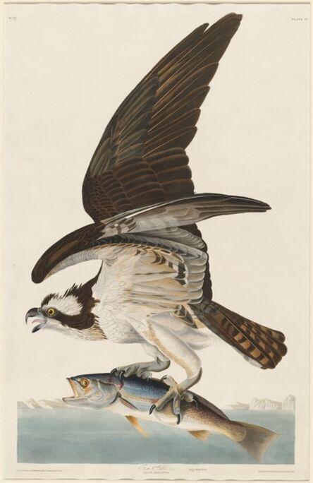 Robert Havell after John James Audubon, 'Fish Hawk', 1830