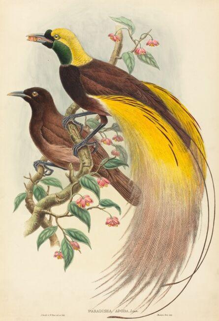 John Gould and W. Hart, 'Bird of Paradise (Paradisea apoda)', published 1875-1888