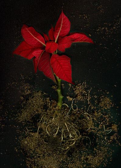 Nadege Meriau, 'Euphorbia Pulcherrima', 2016