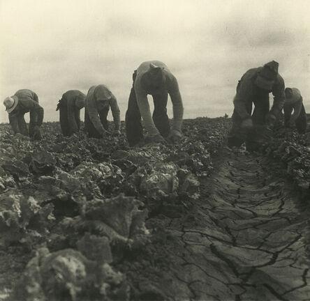 Dorothea Lange, 'Filipinos Cutting Lettuce, Salinas, California', 1935