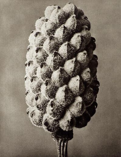 Karl Blossfeldt, 'Plate 80 - Adonia vernalis, False Hellebore '