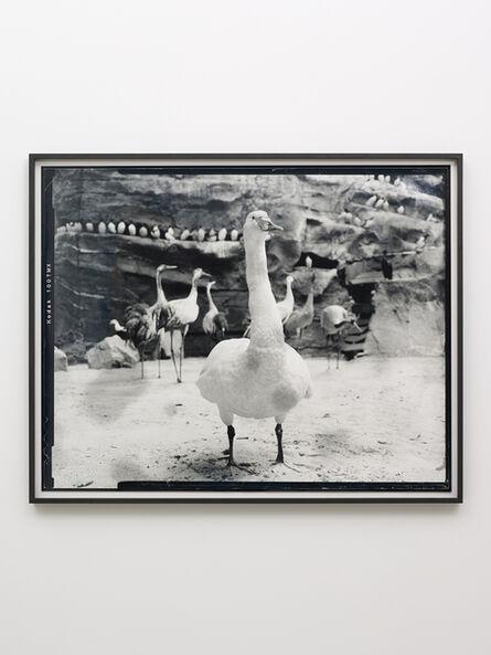 Gerard Byrne (b. 1969), 'Whopper Swan - Fifth beast', 2018