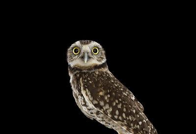 Brad Wilson, 'Burrowing Owl #1, Espanola, NM ', 2013