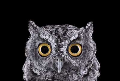 Brad Wilson, 'Western Screech Owl #1, Espanola, NM', 2011