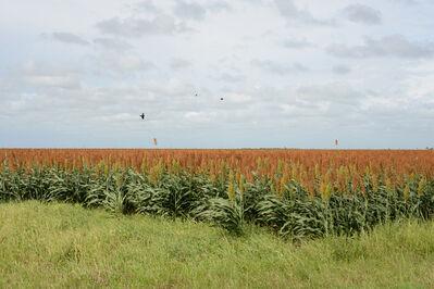 Peter Brown, 'South Texas: Sorghum Field with Blackbirds near Falfurrias', 2015