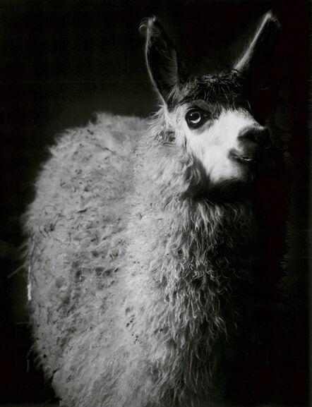 Walter Schels, 'Alpaca', 1982