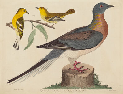 John G. Warnicke after Alexander Wilson, 'Passenger Pigeon, Blue-mountain Warbler, and Hemlock Warbler', published 1808-1814