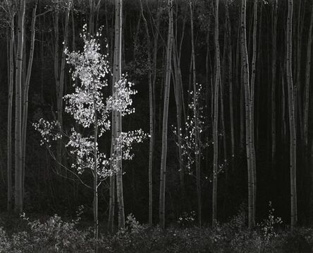 Ansel Adams, 'Horizontal Aspens', 1958