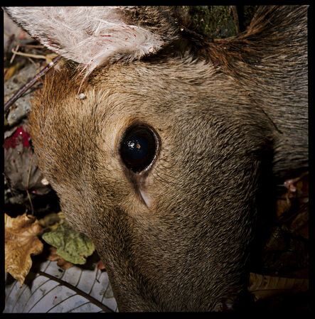 Masaru Tatsuki, 'A Deer Shot Dead, Kamaishi, Iwate', 2009