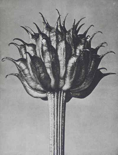 Karl Blossfeldt, 'Wundergarten der Natur. Neue Bilddokumente schöner Pflanzenformen', 1932