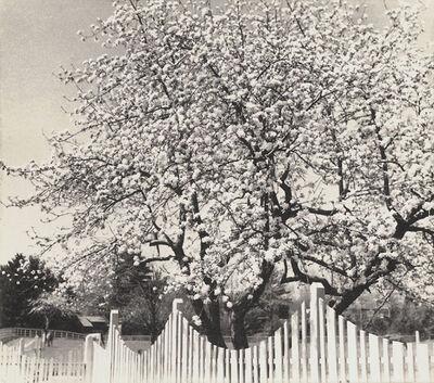 Dorothy Norman, 'Apple Blossoms, Woodstock, NY', 1936/1936