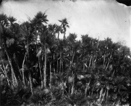 Lisa Elmaleh, 'Paurotis Palms'