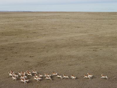 Andrew Moore, 'Pronghorn Antelope, Niobara County, Wyoming', 2013