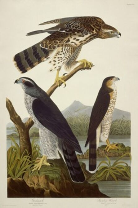 Robert Havell after John James Audubon, 'Goshawk and Stanley Hawk', 1832