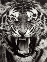Robert Longo, 'Untitled (Roaring Tiger Print)', 2015