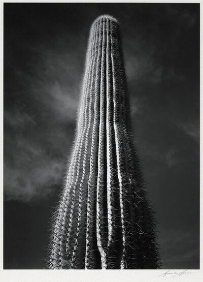 Ansel Adams, 'Saguaro Cactus, Sunrise, Arizona', 1946