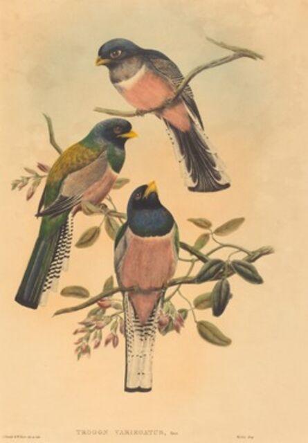 John Gould and W. Hart, 'Trogan variegatus', probably 1836/1838