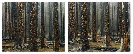 Laura McPhee, 'Early Spring, Peeling Bark in Rain (Diptych)'