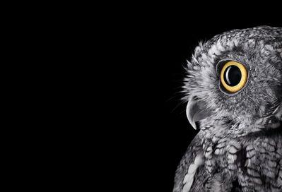 Brad Wilson, 'Western  Screech Owl #2, Espanola, NM', 2011