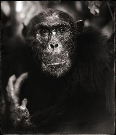 Nick Brandt, 'Portrait of Old Chimpanzee with Hand II, Mahale 2003'