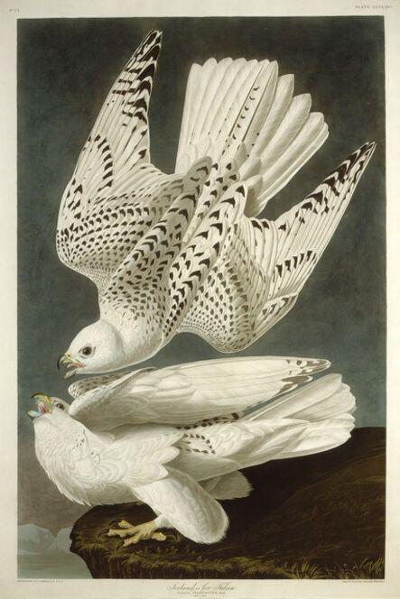 Robert Havell after John James Audubon, 'Iceland or Jer Falcon', 1837