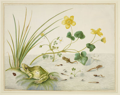 Maria Sibylla Merian, 'Marsh Marigold with the life stages of a frog', 1705-1710