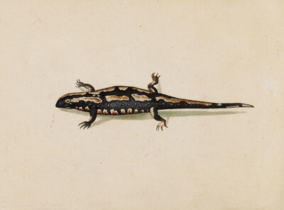 Master of the Arundel Sketchbook, 'A Spotted Salamander (Salamandra Maculosa)', ca. 1645