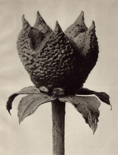 Karl Blossfeldt, 'Ruta graveolens', 1932