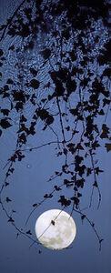Susan Derges, 'Full Moon Ivy', 2012