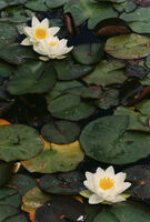 Thomas Struth, 'Three White Water Lilies,  N° 52, Dusseldorf', 1993